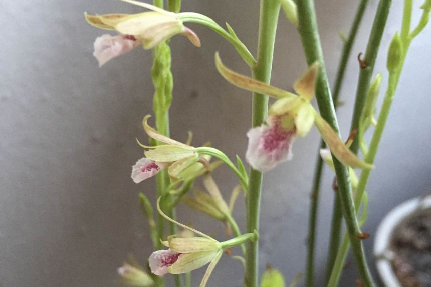 Grass Orchid