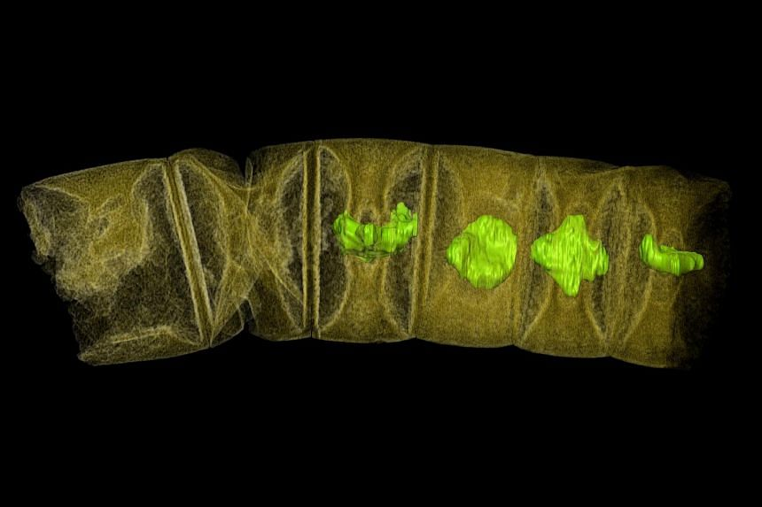 An X-ray tomographic picture of fossil thread-like red algae, tinted to show detail. The fossil was unearthed in central India from phosphate-rich sedimentary rocks, and may represent the oldest-known plants on earth, dating from 1.6 billion years ag