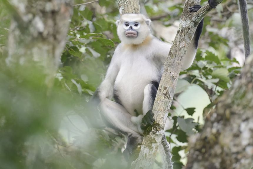 The Tonkin snub-nosed monkey can be found in only about four small sites in north-east Vietnam.