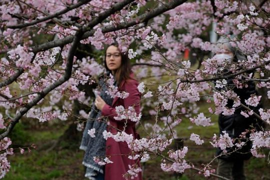 Blooming early Japan's famed cherry blossoms make unexpected appearance