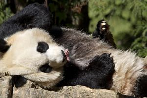 Mei Xiang, a giant female panda, rests at the National Zoo in Washington onOct 11, 2012. -- FILE PHOTO: AP