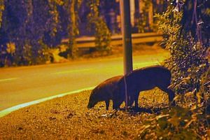 Wild boars searching for food by the side of the Old Upper Thomson Road at night on Jan 16, 2012.About 80 wild boars in the Lower Peirce area have been culled by the authorities since 2012 to improve public safety and reduce damage to the area'