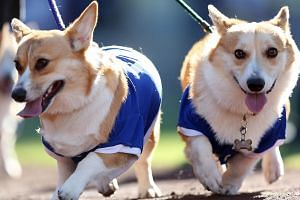 Dogs walk around the warning track as they take part in the Dodgers' annual