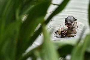 An otter was spotted at Swan Lake in the Botanic Gardens on Oct 30, 2014. -- ST PHOTO: LIM YAOHUI FOR THE STRAITS TIMES