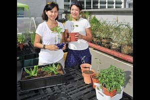 Ms Chuah Khai Lin (left) and Ms Evelyn Toh, both mothers of young children, run a farm on the rooftop of Bugis Cube. -- PHOTO: LIM YAOHUI FOR THE SUNDAY TIMES