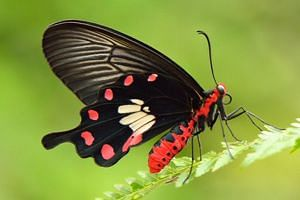 All in, 7,603 votes were cast, with the Common Rose - a medium-sized butterfly that is found mainly in forests - garnering 37 per cent of them. -- PHOTO: NATURE SOCIETY