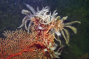 Feather stars are abundant along the Deep Dive Trail, and are often perched on Sea Fans and Sea Whips which provide a vantage point for them to feed on the plankton and particles that are brought in by the currents. A False or Ocellaris clownfish, Am
