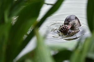 An otter having a meal at the Botanic Gardens' Swan Lake. Late last year, the semi-aquatic mammals were spotted in the Sentosa Cove area.