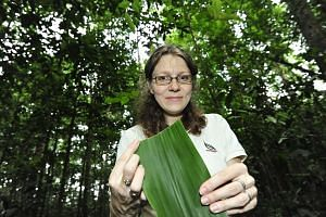 Dr Jana Leong- Skornickova with a leaf from the Hanguana rubinea plant. The ginger plant specialist stumbled upon the new species while on a routine field survey at the Central Catchment Nature Reserve in 2012.