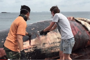 Researchers from the Lee Kong Chian Natural History Museum have started to dissect the sperm whale carcass.