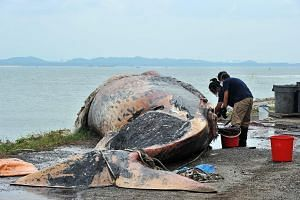 Museum staff Chen Mingshi, 26, and Iffah Iesa, 23, working on the retrieved carcass of the female whale last Saturday.