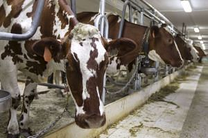 Dairy cows wait to be milked at a farm in Granby, Quebec, on July 26, 2015.