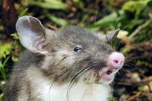 Scientists from Australia's Museum Victoria have discovered a new species of hog-nosed rat in Indonesia that has never been documented in any scientific collection.
