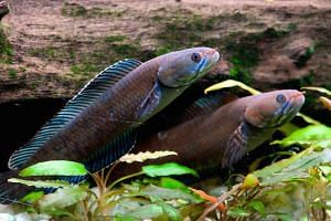 Blue snakehead fish are seen at an undisclosed location in the eastern Himalayas. The fish can can breathe air, survive on land for four days and slither up to 400m on wet ground.
