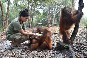 A Borneo Orangutan Survival Foundation staff member feeding baby orang utans that suffered from respiratory problems at a rehabilitation centre on the outskirts of Palangkaraya in Central Kalimantan. The haze crisis has left the great apes on Borneo