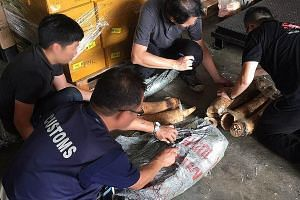 The shipment containing illegal pangolin scales (above) and ivory (right) was on its way from Nigeria to Laos via Singapore.