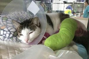 Oli with its fractured legs bandaged after extensive surgery.