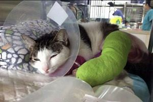 This cat was found with two badly fractured legs at the void deck of Block 170, Yishun Avenue 7.