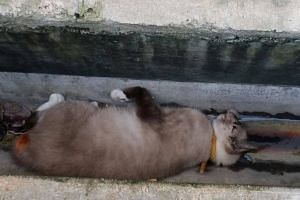 The dead cat was found lying in a drain at Yishun Ring Road.