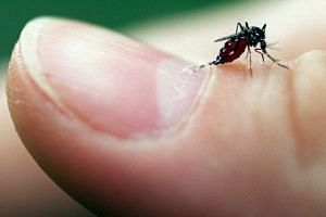 The Aedes mosquito which transmits the dengue virus.
