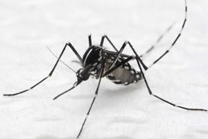 The Aedes mosquito.