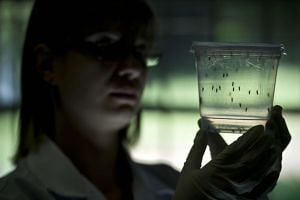 A researcher looks at mosquitoes at a laboratory in Sao Paulo University.