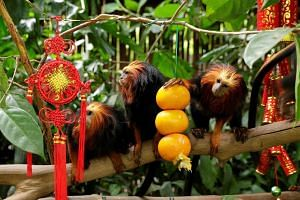 The Golden-headed lion tamarins seem to be admiring the new tassels in their tree.