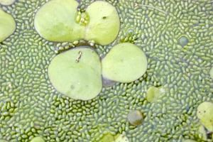 Duckweed, the humble aquatic plant, had its day in Parliament this week.