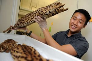 Mr Chua, with a preserved specimen of the leopard cat, estimates that there are no more than 20 of them living on mainland Singapore, in the nature areas. He found a larger population of leopard cats on offshore Pulau Tekong, which is 32 times smalle