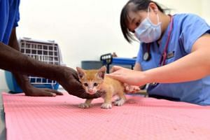Veterinary surgeon Pearlyn Ting examining a stray kitten at the clinic in SPCA's new premises in Sungei Tengah Road.