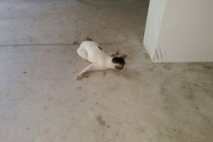 The cat was found by a cat feeder at Block 428A,Yishun Avenue 11.