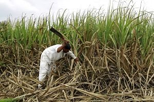 Farmer Vijay Nazirkar cutting partially destroyed sugar cane to be used as fodder for his cattle at a village in Pune, India. Two successive years of drought have hit farmers in India especially hard.