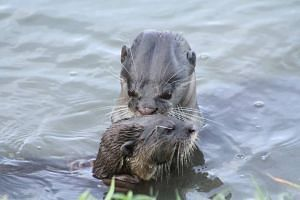 Another otter attempts to remove the fishing hook from the pup.