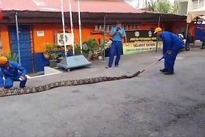 A python caught in Penang by civil defence personnel has become an attraction of sorts. The snake, which is 7.5m long and weighs 250kg, was found at a road flyover construction site. According to the Guinness World Records, the longest living snake i