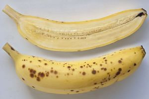 WHO officials are warning that Panama disease, caused by the Fusarium wilt fungus, may wipe out the popular Cavendish banana cultivar (pictured).