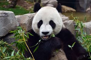 Le Bao, a three-year-old male panda, at South Korea's Everland Amusement and Animal Park in Yongin, south of Seoul on April 7, 2016.