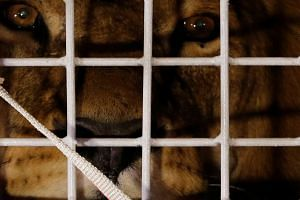 One of the 33 lions looks from a cage after their arrival in Johannesburg on Saturday (April 30).