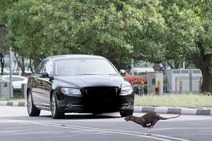 An otter crossing a stretch of East Coast Park Service Road just before a car drives by.