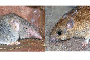 Unlike a rat (right), a shrew is not classified as a rodent.