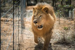 A zoo in Chile's capital said it was forced to kill two lions on Saturday (May 21) to protect a suicidal man who had entered their cage in front of aghast visitors.