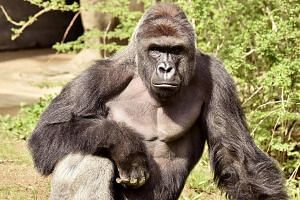 Harambe the gorilla was killed by zoo workers after it took hold of a four-year-old boy who fell into its enclosure. Social media users have called for the boy's parents to be held accountable for the incident.