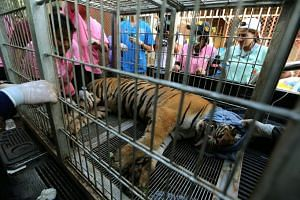 A tiger inside a cage after it was tranquilised to be moved by Thai National Park officials from the Tiger Temple in Kanchanaburi province, Thailand, on June 3. Besides dozens of tigers, officials also found 20 dead tiger cubs preserved in jars on Ju