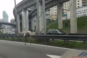 Motorists weren't sure whether to overtake the ostrich so stayed behind it, said a witness.