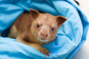 Makaia, a Goodfellow's tree kangaroo, was adopted by a wallaby after his mother, Kia, died when he was seven weeks old.
