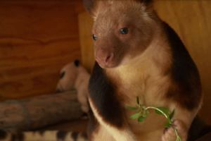 """Makaia, a """"miracle"""" orphaned tree kangaroo, will arrive from the Adelaide Zoo."""