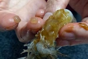"""Tests are being done to identify the """"translucent blobs"""" discovered in the prawns purchased by Madam Huang."""