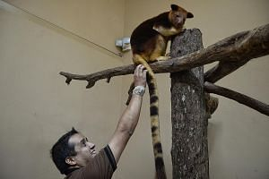 Two-year-old Makaia with Mr Bisht, the quarantine officer. It will soon be put together with a female tree kangaroo at the Singapore Zoo to start their own furry family.
