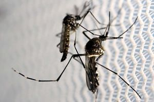Aedes aegypti mosquitoes inside a laboratory.