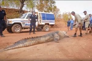The giant saltwater crocodile being hauled on land by several rangers and officers.