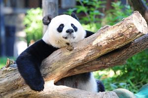 Giant panda Mei Xiang rests in her enclosure August 24, 2016 at the National Zoo in Washington, DC.
